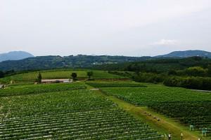 眼下に広がるぶどう畑 正面に富士山、南アルプス、箱根の山