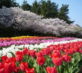 1300本の桜と50万球のチューリップの競演