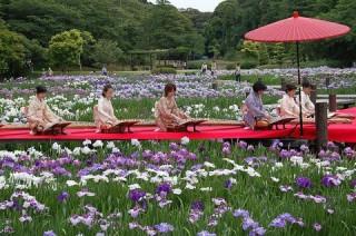720品種、1OO万本の花菖蒲