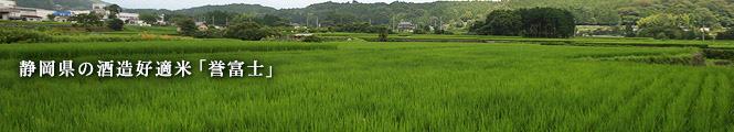 静岡県の酒造好適米「誉富士」