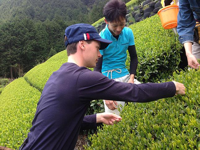 清水区で茶摘み(2015年5月)