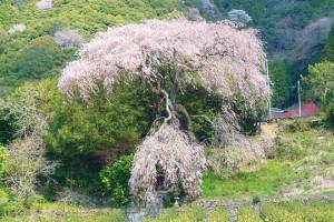 茶畑前・しだれ桜
