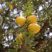 アルガンの果実