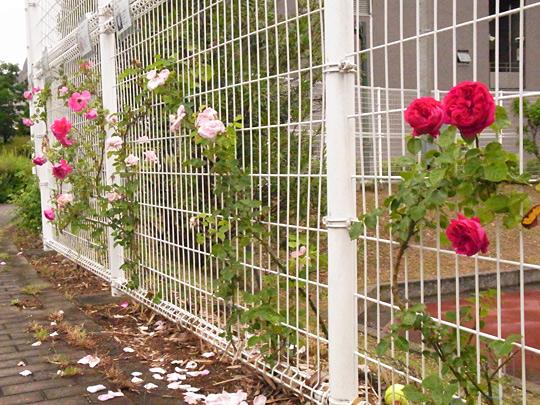 バラの無農薬栽培について横浜市百段公園で顧問(アドバイザー)として実証実験。