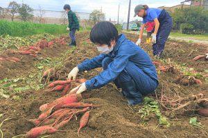浜松JV サツマイモ収穫